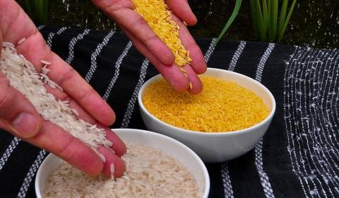 [사이언스타임즈] 연구윤리 어긴 '황금쌀' 상용화 될까