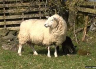 양_염소_Irish Farmers Journal