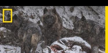 늑대 사이의 한 남자