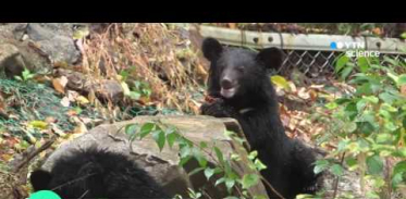 [사이언스 TV] 지리산 반달가슴곰, 경북 김천까지 이동