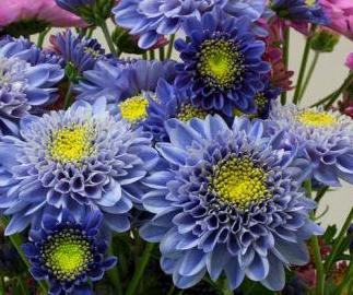[사이언스타임즈] 세계 최초로 진청색 국화꽃 탄생