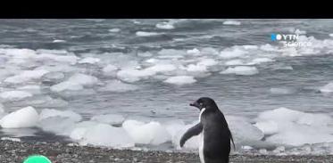 [사이언스 TV] 남극펭귄, 바다서 울음소리로 의사소통한다