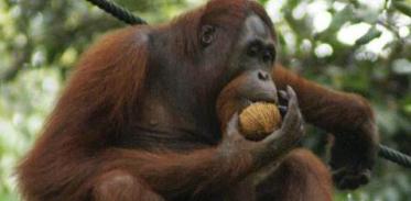 """[사이언스타임즈] """"침팬지 지능, 사실이 아니다?"""""""