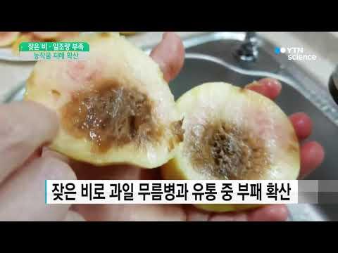 [사이언스 TV] 잦은 비·일조량 부족에 농작물 피해 확산