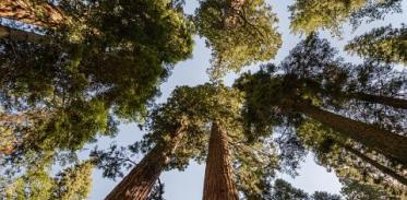 [사이언스타임즈] 키 100m 나무, 이게 최선인가요?