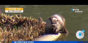 [사이언스 TV] 울산은 수달의 놀이터…학교, 공장, 섬에도 있어요