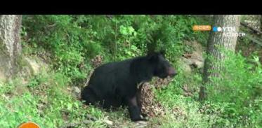 [사이언스TV] 수도산 방사 반달가슴곰 서식지 탐색 중