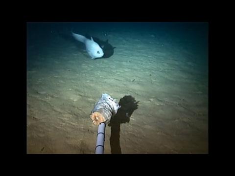 8000m 심해 착륙선으로 발견한 심해어