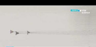 [사이언스TV] 만경강 야생조류 AI 항원 저병원성으로 확인