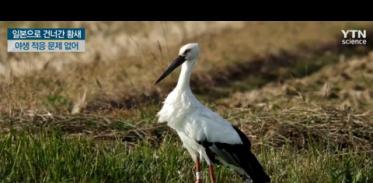 [사이언스TV] 국내 사육장 탈출해 일본으로 건너간 황새 야생 적응 문제 없어