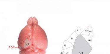 [사이언스타임즈] 생쥐 두뇌에서 제2의 눈 찾아내