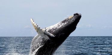 [사이언스타임즈] 혹등고래는 클래식, 북극고래는 재즈를 부른다