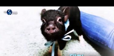 [사이언스TV] 돼지의 재발견