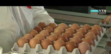 [사이언스TV] 제주 출하 달걀서 금지 항생제 검출 2,700개 긴급 회수
