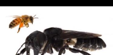 [사이언스TV] 지구에서 가장 큰 꿀벌 38년 만에 발견