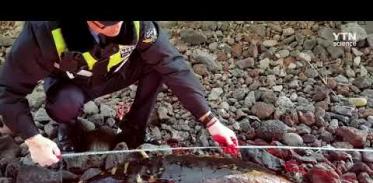 [사이언스TV] 제주 해안가서 멸종위기 보호종 상괭이 사체 잇따라 발견
