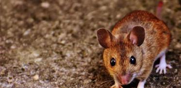 [사이언스타임즈] 줄기세포로 늙은 쥐 뇌 젊게 바꿔