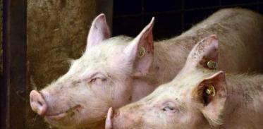 [사이언스타임즈] 도살된 돼지 뇌를 되살리다