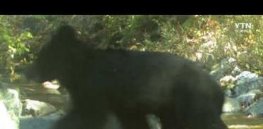 [사이언스TV] DMZ 동부지역 멸종위기 반달가슴곰 서식 확인