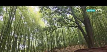 [사이언스TV] 대나무 숲 피톤치드 도심보다 7배 높다