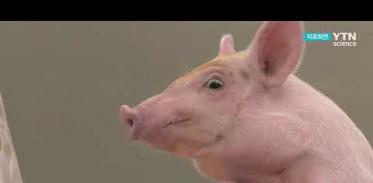 [사이언스TV] 돼지에 인체 조직 이식, 거부반응 억제 성공