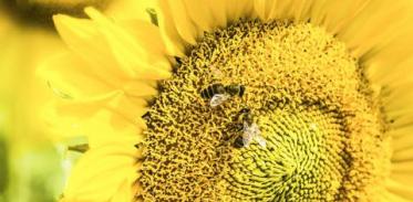 [사이언스타임즈] 꿀벌도 부호와 숫자 연결할 줄 안다