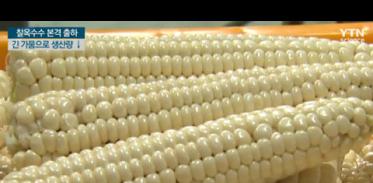 [사이언스TV] 여름철 별미 옥수수 본격 출하, 가뭄으로 생산량 줄어