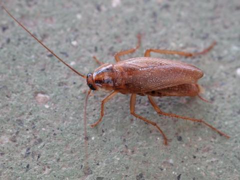 [사이언스타임즈] 바퀴벌레를 박멸하기 어려운 이유