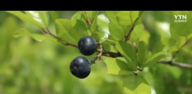 [사이언스TV] 상동나무 추출물 암세포 억제한다, 대장암·폐암에 효과