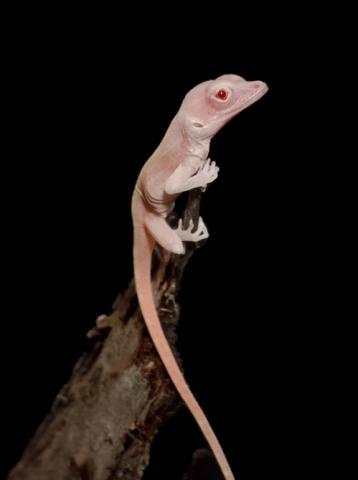 [사이언스타임즈] 유전자 가위 기술로 탄생한 '흰 도마뱀'