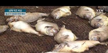 경남 남해안 적조 비상, 참돔 등 185만 마리 폐사