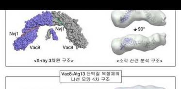 세포 청소 돕는 단백질 결합 과정 규명