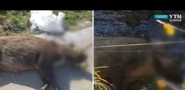 파주·연천 민통선 내 멧돼지 폐사체에서 바이러스 검출, 9마리째