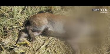 아프리카돼지열병 확진 16번째 멧돼지 발견