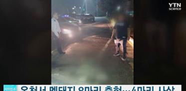 충북 옥천서 새끼 멧돼지 8마리 출현, 4마리 사살