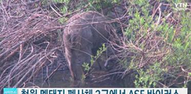 철원 멧돼지 폐사체 2마리에서 ASF 바이러스 검출