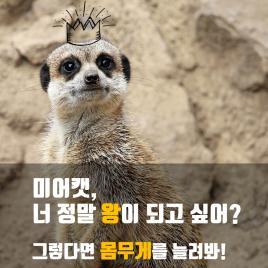 왕이 되려는 미어캣, 몸무게를 늘려라!
