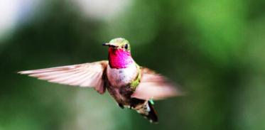 [사이언즈타임즈] 벌새는 '자외선 색깔'을 구분한다?
