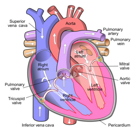 [사이언즈타임즈] 다빈치가 스케치한 심장근육의 신비가 밝혀지다