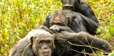 [사이언즈타임즈] 노년의 우정, 사람이나 침팬지나 똑같다
