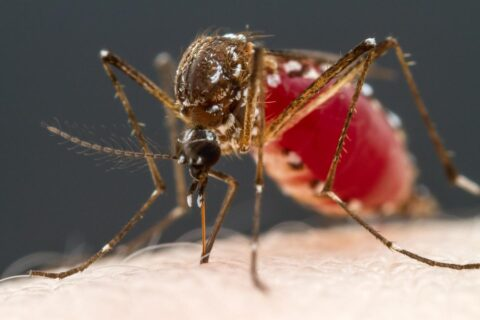 [사이언즈타임즈] 모기는 피와 과즙을 어떻게 구별할까?