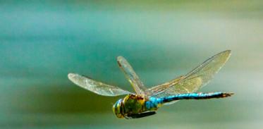 [사이언즈타임즈] 곤충은 어떻게 날개를 갖게 되었나?
